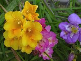 Storia e significato della fresia giardinaggio e fiori for Giardinaggio e fiori